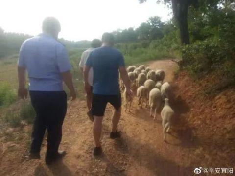 洛阳警方用无人机帮助村民找回了17只走失的羊